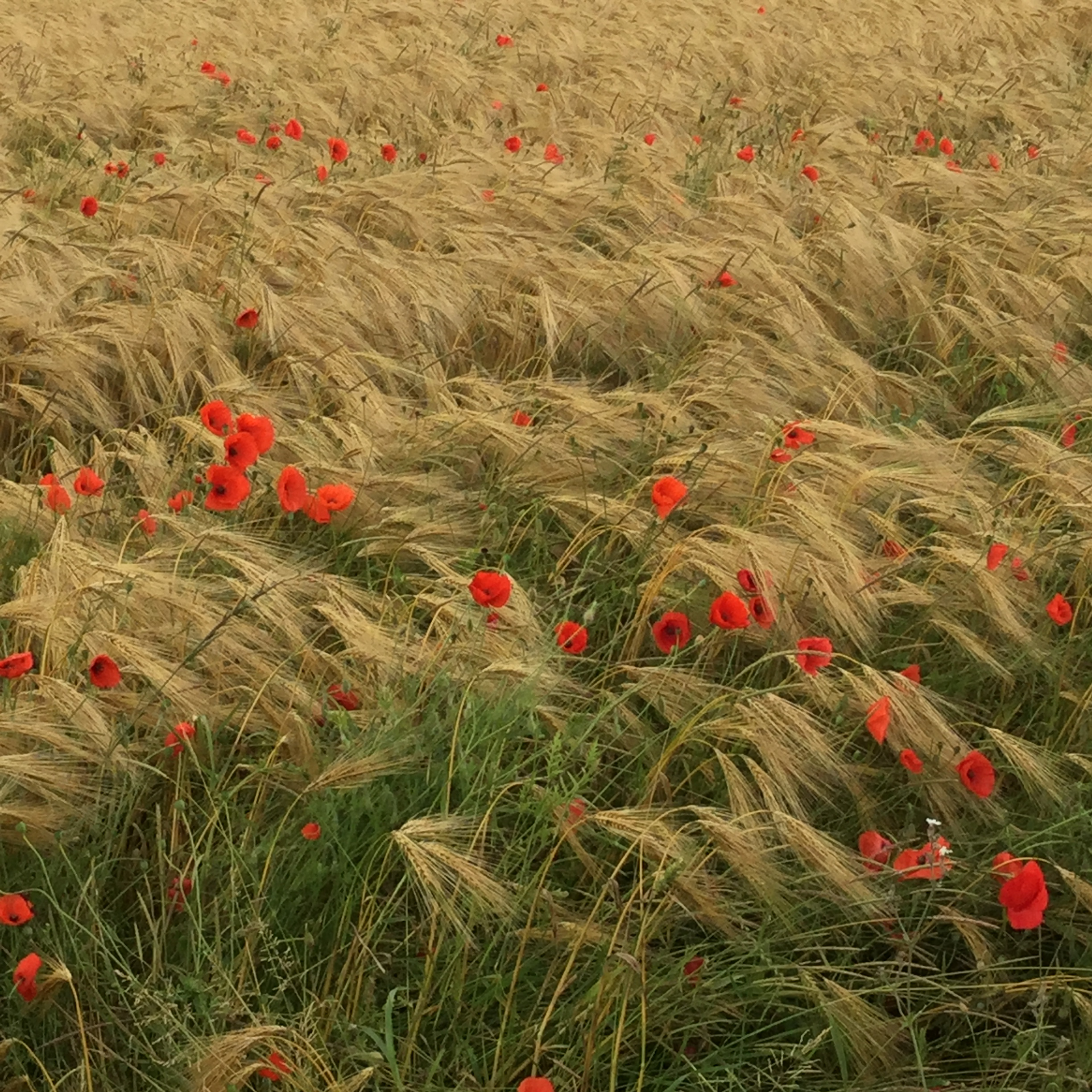 Somme Poppies